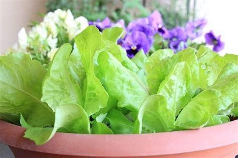 coltivare lattuga in vaso coltivazione lattuga coltivare orto come coltivare la