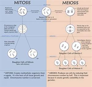 Difference Between Mitosis And Meiosis  With Images