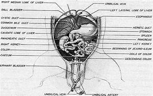 Fetal Pig Female Reproductive System Diagram