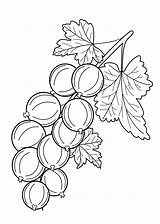 Coloring Pages Berries Fruits Gooseberry Colouring Printable Fruit Drawing Drawings 4kids Sheets Vegetables Vegetable Picolour Navštiviť Uložene Dentistmitcham sketch template