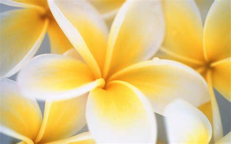 Yellow Windows 7 flower wallpaper - HD Wallpapers