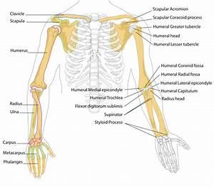 Pilt Human Arm Bones Diagram Svg  U2013 Wikipedia