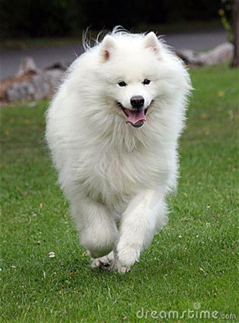 samoyed dog running royalty  stock  image
