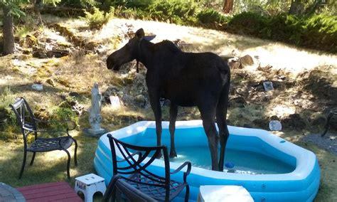 word spreads  moose  cool  kiddie pool