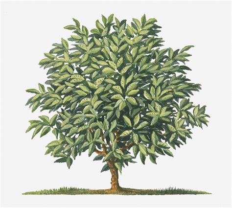 acrylic coffee illustration of small coffea arabica coffee tree digital