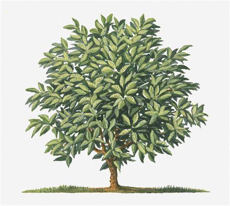 My favorite oil painting brand to use is gamblin. Illustration Of Small Coffea Arabica (coffee) Tree Digital Art by Matthew Ward