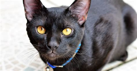 Black Cat Breeds with Yellow Eyes
