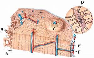 Multi Choice  The Skeletal System  Bone Tissue Flashcards