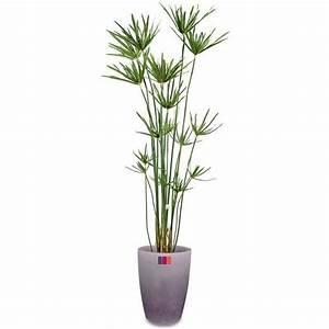 Acheter Des Plantes : acheter papyrus plante fleuriste bulldo ~ Melissatoandfro.com Idées de Décoration