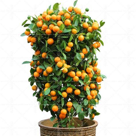 40pcs Bonsai Orange Potted Edible Tangerine Citrus Fruit