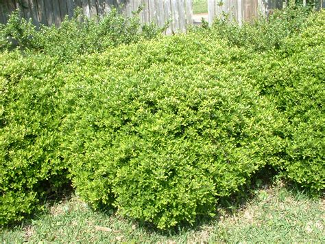 types of shrubs types of bushes images