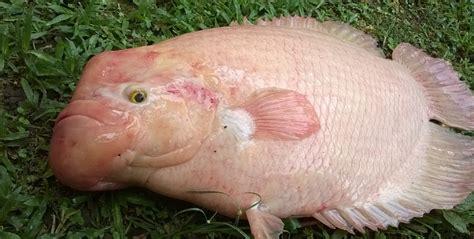 Distributor Peternakan Ikan Gurame tips sukses budidaya ikan gurame di kolam terpal ayo
