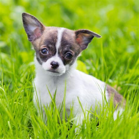 Chihuahua Kaufen  Was Kostet Ein Chihuahua?