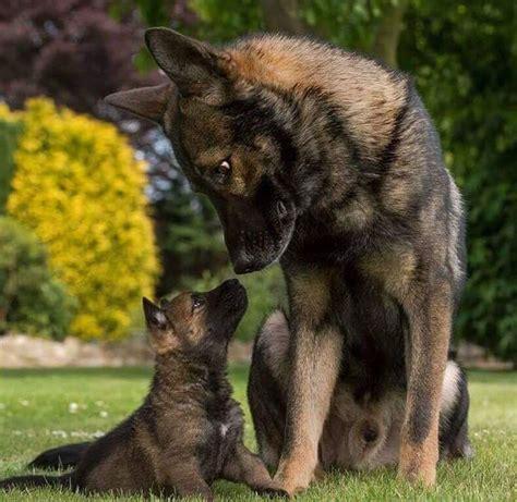The 25+ Best Miniature German Shepherd Ideas On Pinterest