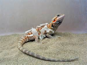 dragons shed cool bearded dragon org