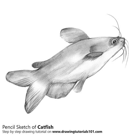 catfish pencil drawing   sketch catfish