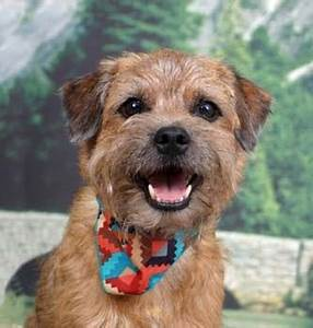 Border Terrier dogs - Pets Cute and Docile