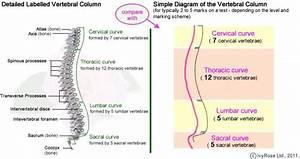 Simple Diagram Of Vertebral Column