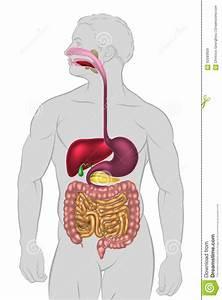 Human Digestive System Stock Vector  Illustration Of