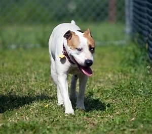 Gracie - American Bulldog   Humane Society of Dallas County