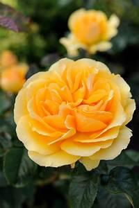 6 Top Repeat-flowering Roses