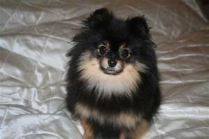 Pomeranian Black And Tan