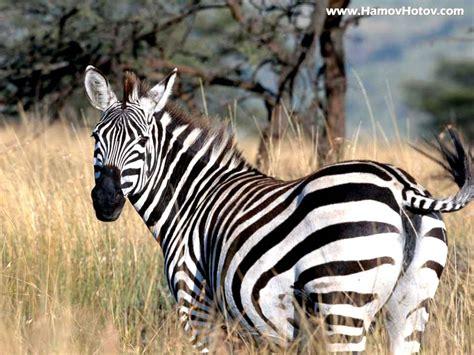 Zebra Wallpaper, Zebra Wallpapers  Amazing Wallpapers