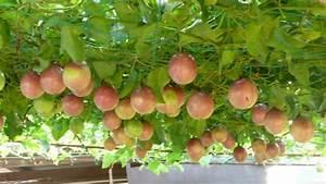 buah | Cara menanam dan teknik budidaya tanaman