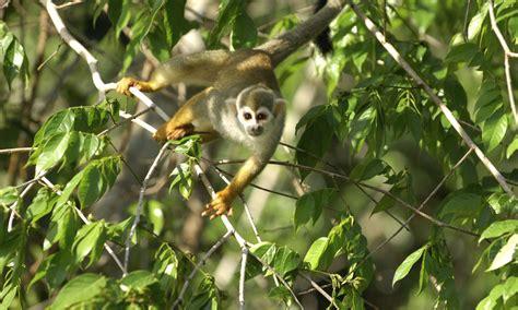 squirrel monkey amapa brazil  wwf