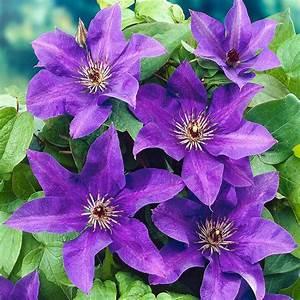 Clematis the president clematis the president taylors clematis clematis the president white flower farm mightylinksfo