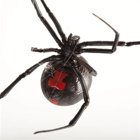 black widow spiders national geographic