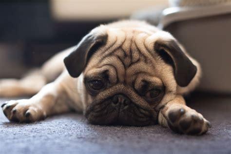 sad pug pictures   images  facebook tumblr pinterest  twitter