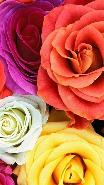Multicolor Roses Plants Nature Flowers Mobile Iphone