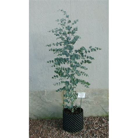 eucalyptus glaucescens tingiringi gum evergreen tree with all you could want in leaves
