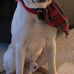 Male Shar-Pei is available for adoption
