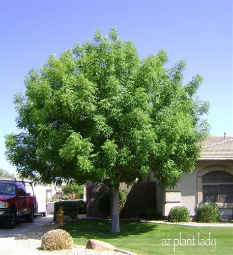 trees for the front yard must have a front yard shade tree home sweet home pinterest trees shades and yards