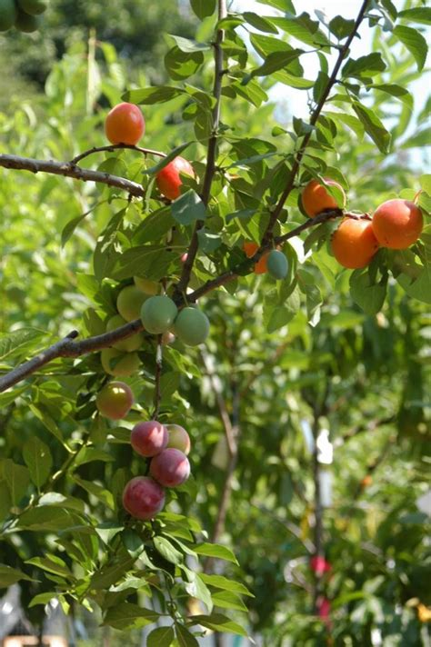 Hybrid Tree Grows 40 Kinds Of Fruit  Ny Daily News