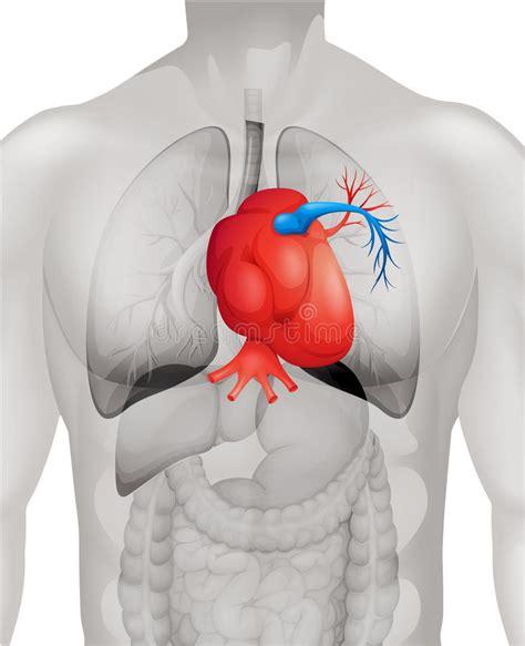 human heart diagram  detail stock vector image