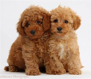Rules of the Jungle: Poodle puppies