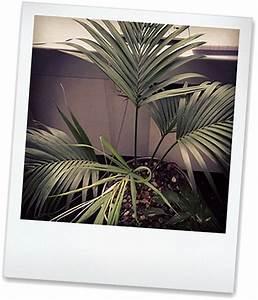Zwerg Dattelpalme : b ropflanzen das sind die beliebtesten ~ Eleganceandgraceweddings.com Haus und Dekorationen