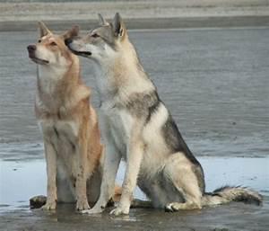 saarloos wolfhound on Tumblr