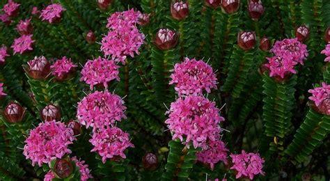 Evergreen Shrub With Lovely Fragrant Flowers