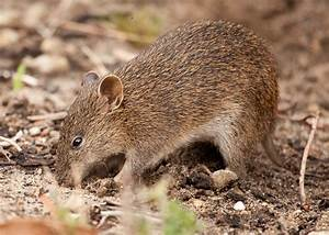 A friendly word for the bandicoot – Echonetdaily