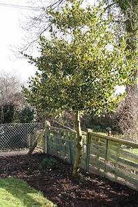 Ilex Golden King : golden variegated holly ilex x altaclerensis golden king chew valley trees ~ Frokenaadalensverden.com Haus und Dekorationen