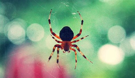 Barn Spider Bite by Garden Orb Web Spider Poisonous Garden Ftempo