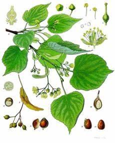 Linde Baum Steckbrief : linde steckbrief ~ Orissabook.com Haus und Dekorationen