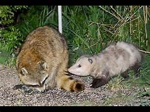 Possum Bite | www.pixshark.com - Images Galleries With A Bite!