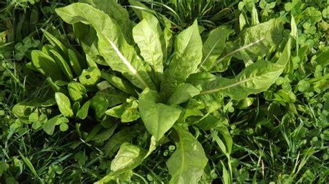 Çikorja, bima që sjell shumë përfitime në shëndet… ndër të ...