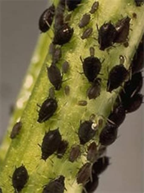 bean aphid