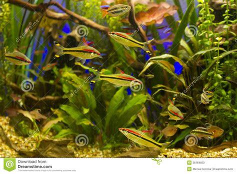 aquarium eau douce tropical aquarium d eau douce tropical image stock image 36184853